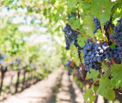Buy Organic Wine