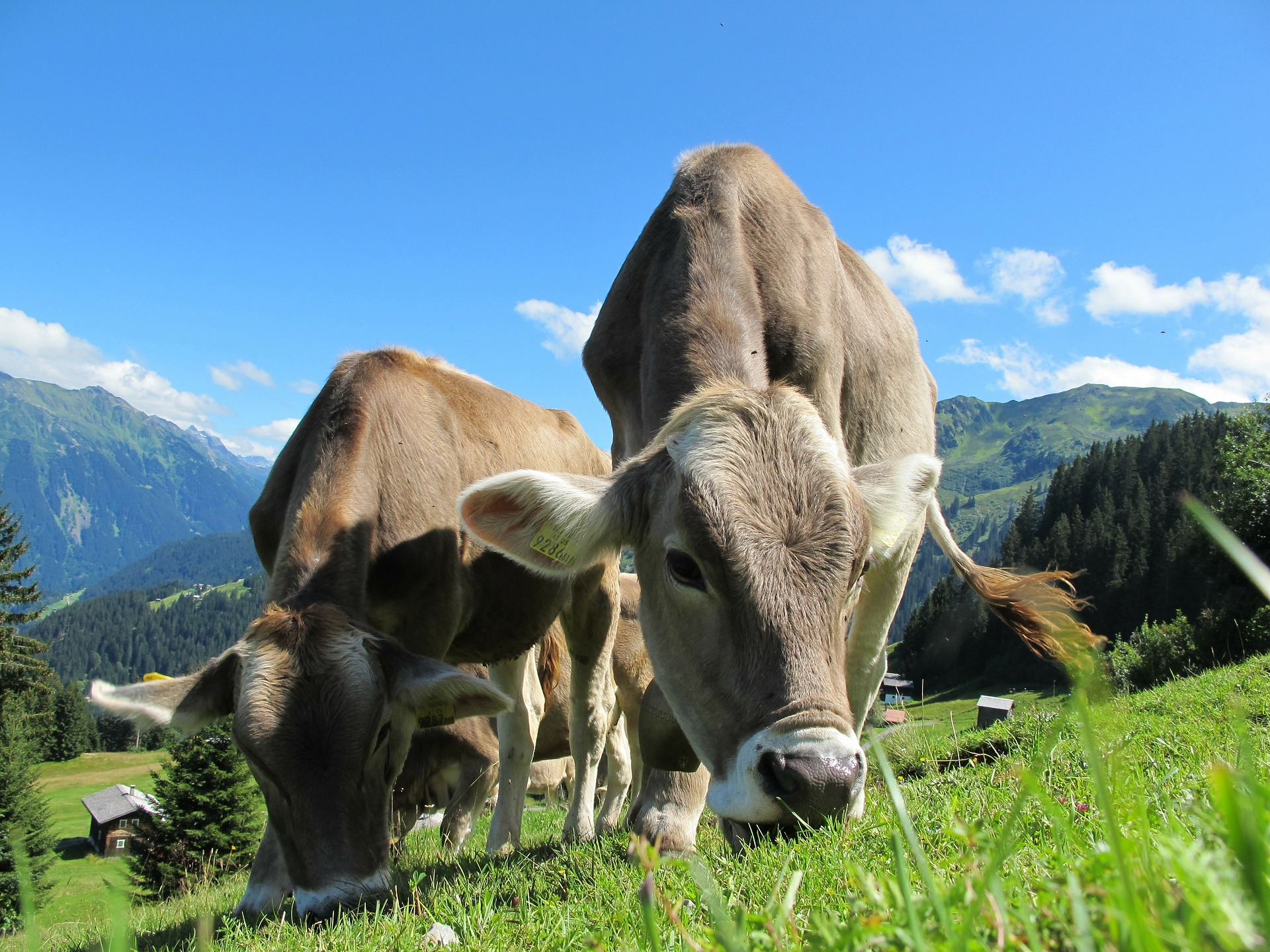 Brown cows feeding on grass in the mountains