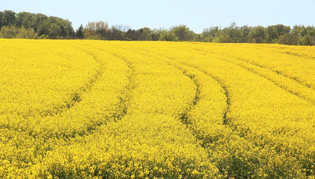Picture of a field of rapeseeds