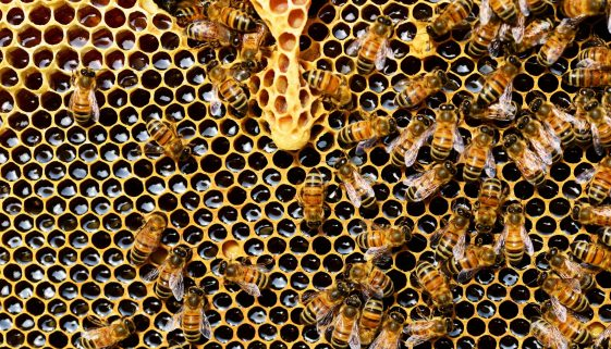 Picture of bees on honeycomb