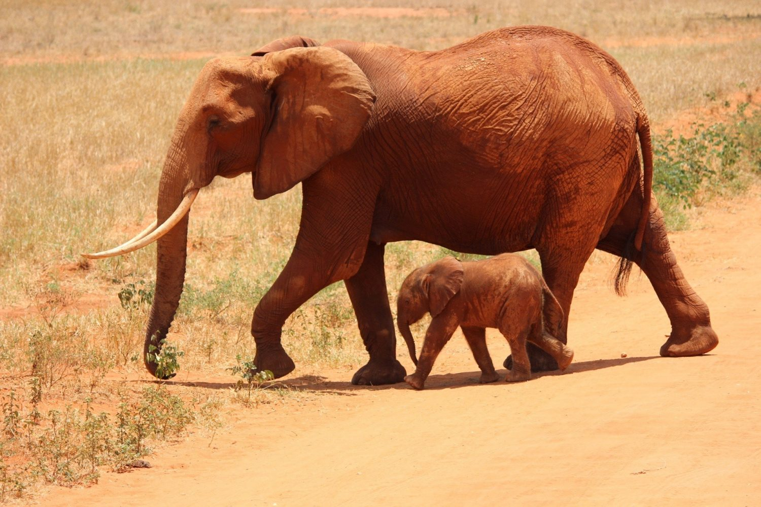 Mom and baby elephant walking together